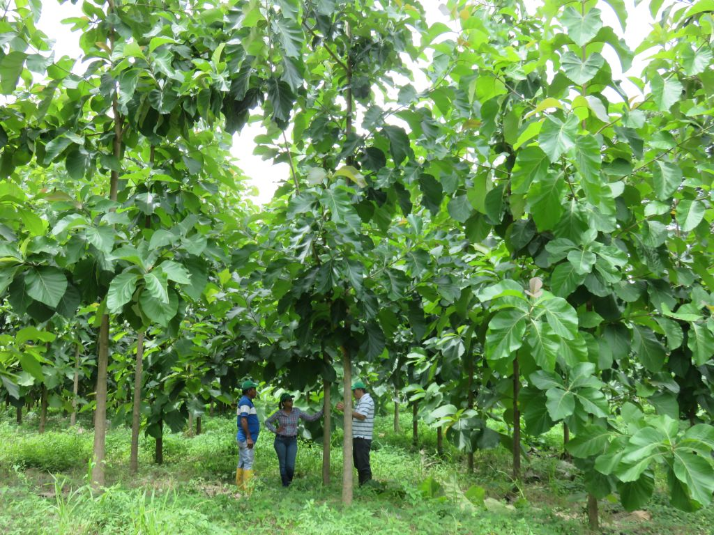 Teakbaum plantage  Mai 2015   Life Forestry Plantagen