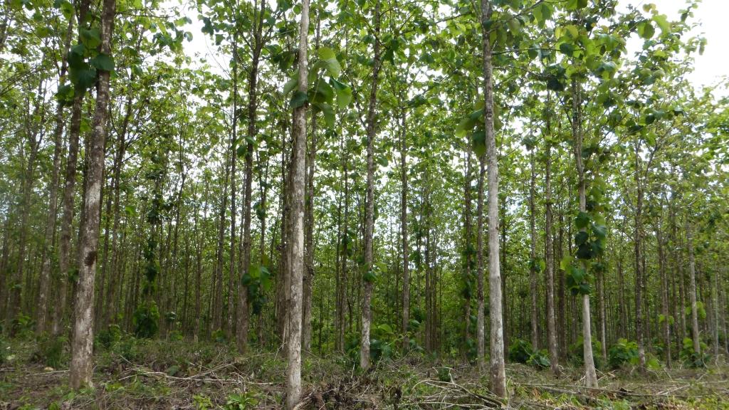 Teakbaum blatt  Mai 2014 | Life Forestry Plantagen
